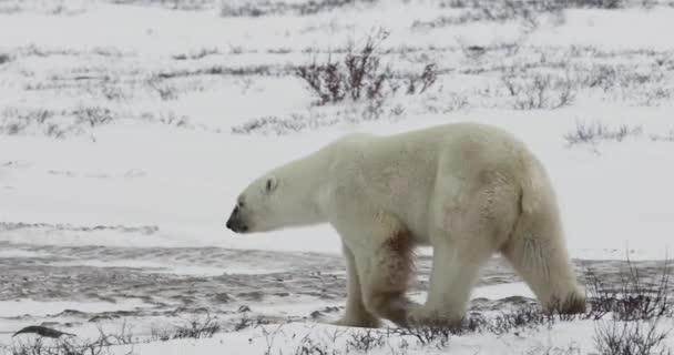 Lední medvěd v zasněžené tundře podél Hudsonského zálivu v Churchillu, Manitoba, Kanada.