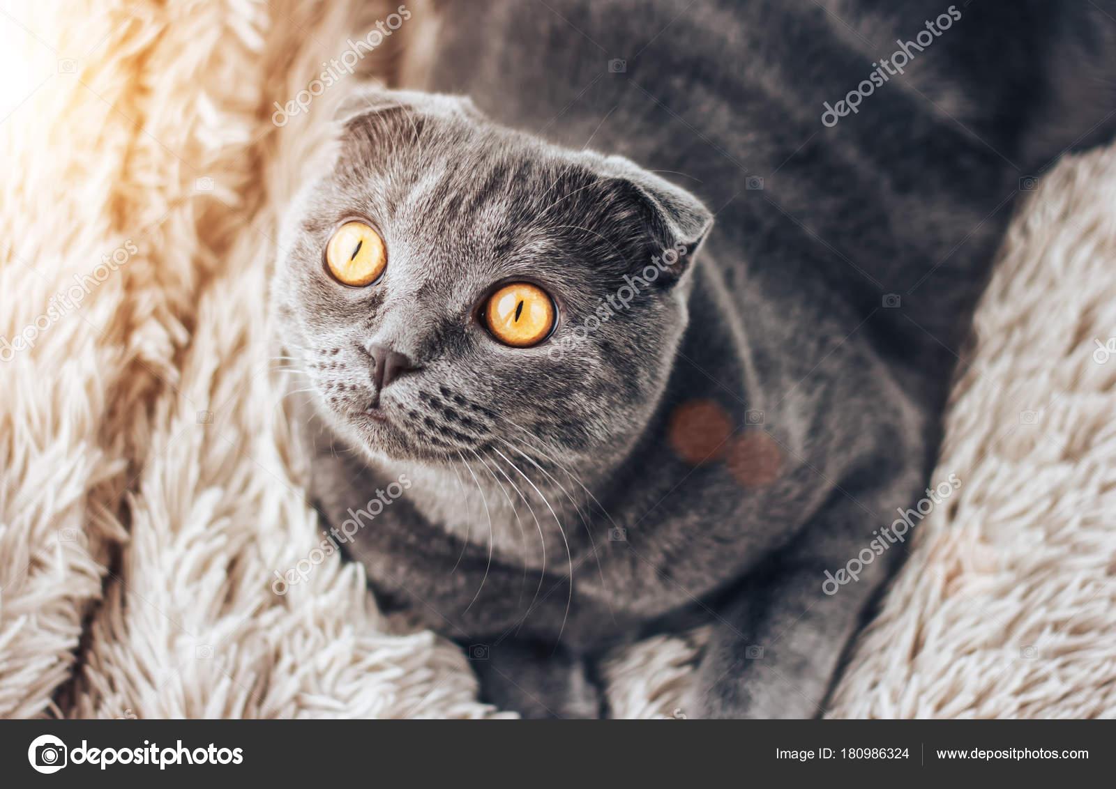 166c062bf06b Γκρι scottishfold γάτα κάθεται στο κρεβάτι και κοιτώντας ψηλά