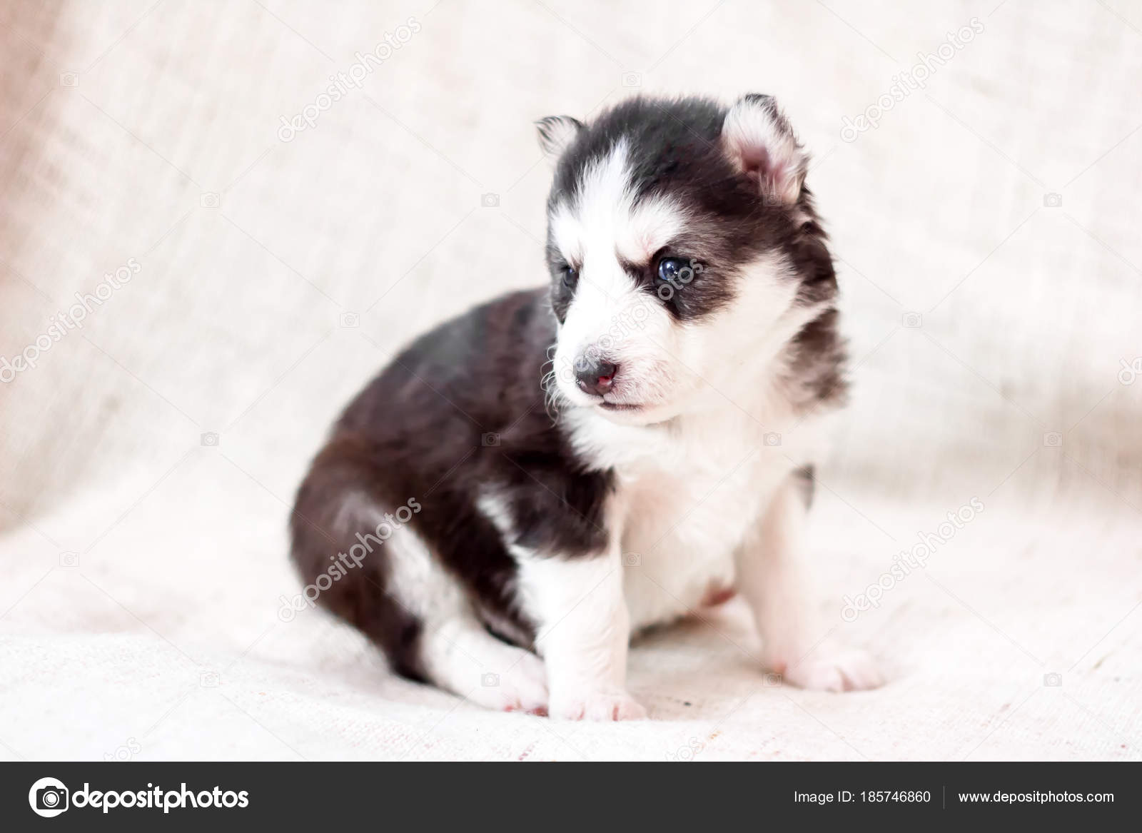 Cute Siberian Husky Puppy Sitting On Sofa At Home Stock Photo