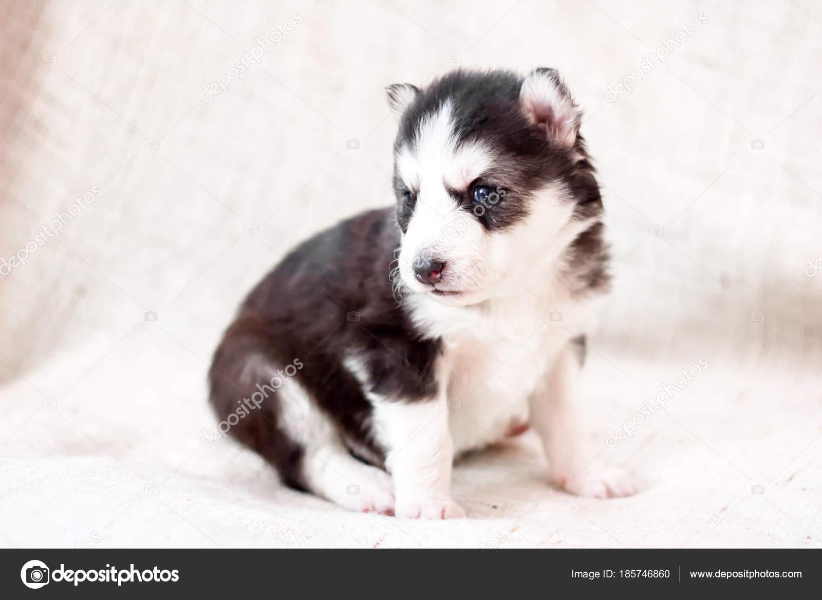 Cute Siberian Husky Puppy Sitting On Sofa At Home Stock Photo C Nesteaav 185746860