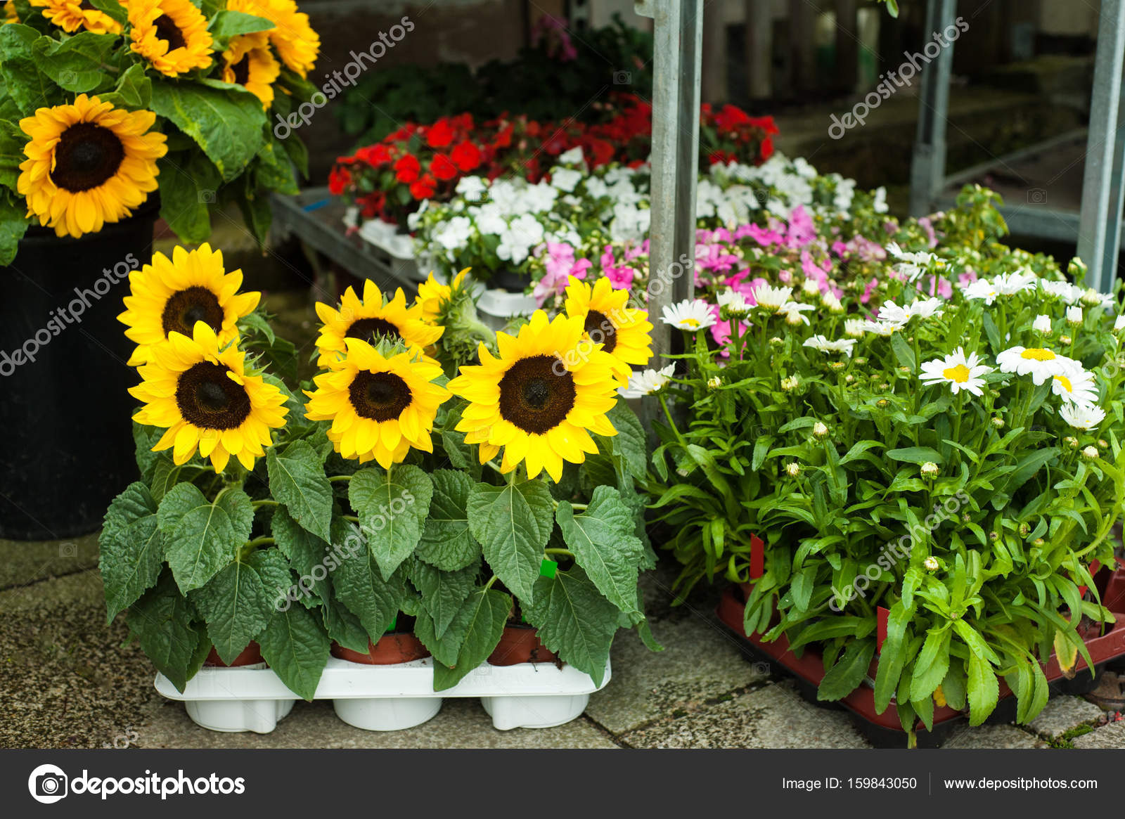 Sunflowers and daisies in flower shop stock photo irinabort sunflowers and daisies in flower shop stock photo izmirmasajfo