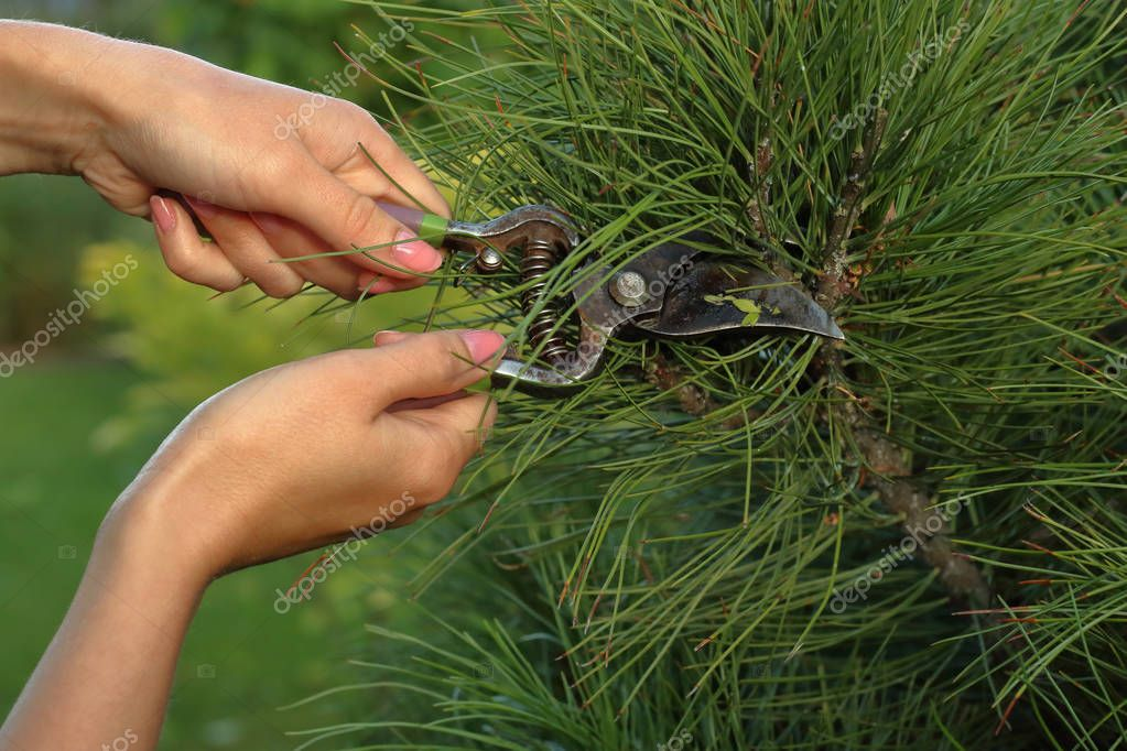 Pruning plants with scissors, close-up