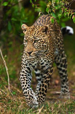 Leopard walking in jungle