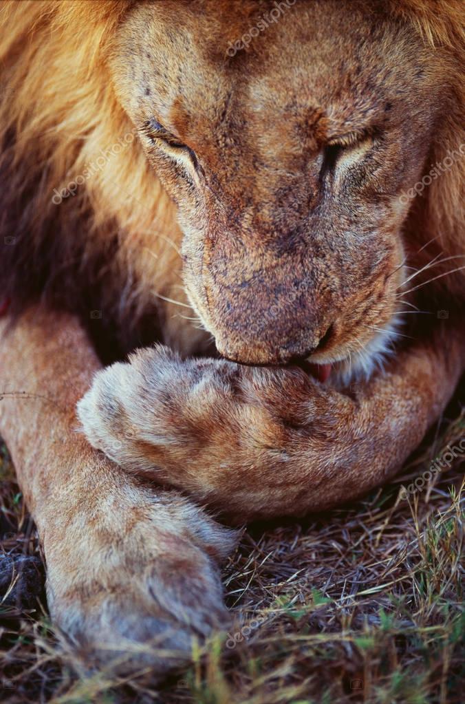 Adult lion in savannah