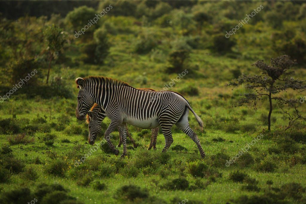 zebras grazing in meadow