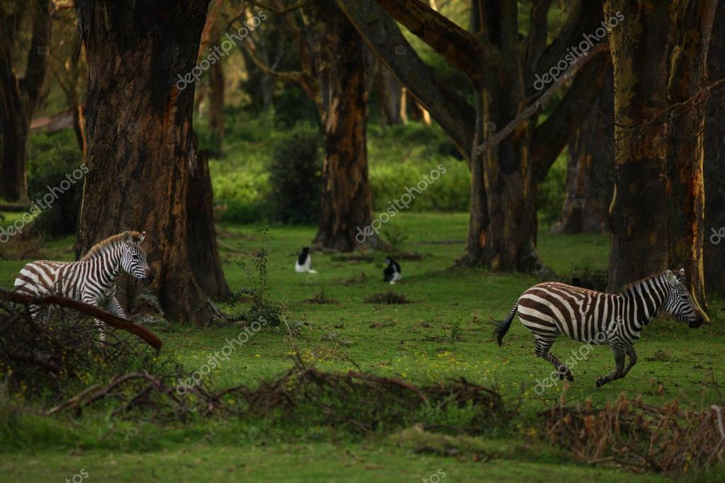 zebras running through tropical forest