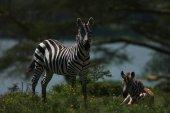Zebras im natürlichen Lebensraum