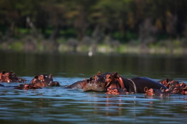 muzzles of hippopotamuses in river