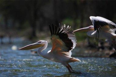 pelicans flying over water