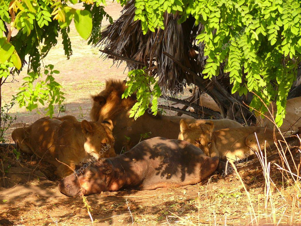 lions eating hippopotamus