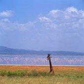 Fotografie Giraffe Gras am Rande mit flamingos