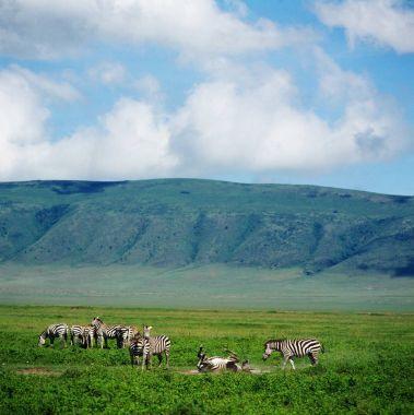 zebras in green field