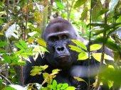 Photo gorilla muzzle in branches