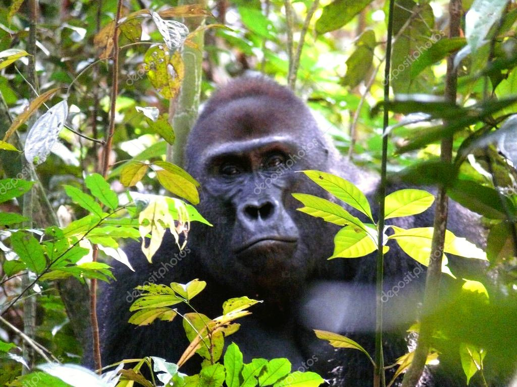 gorilla muzzle in branches