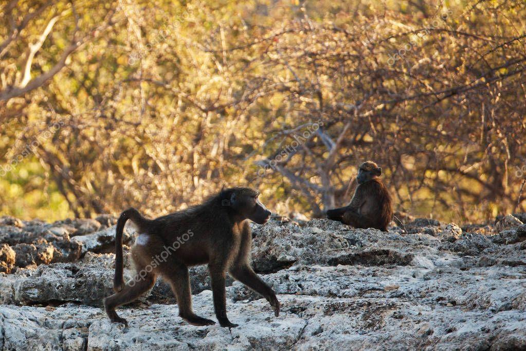 chimpanzee in jungle branches