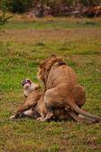Fotografie paar Löwen im Schatten