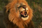 Egy felnőtt oroszlán szavanna