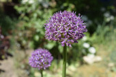 Seeds of onion Suvorov (giant garlic) spherical purple in the garden in bright sunshine.