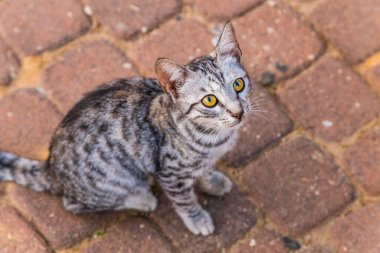 Cute gray striped homeless cat with beautiful yellow orange eyes looks plaintively and asks for food