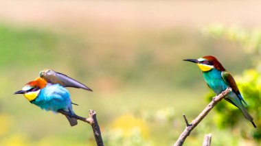 European bee-eater ( Merops apiaster ). birds of paradise, rainbow colors
