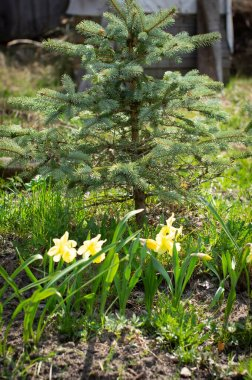daffodils with blue spruce in landscape design