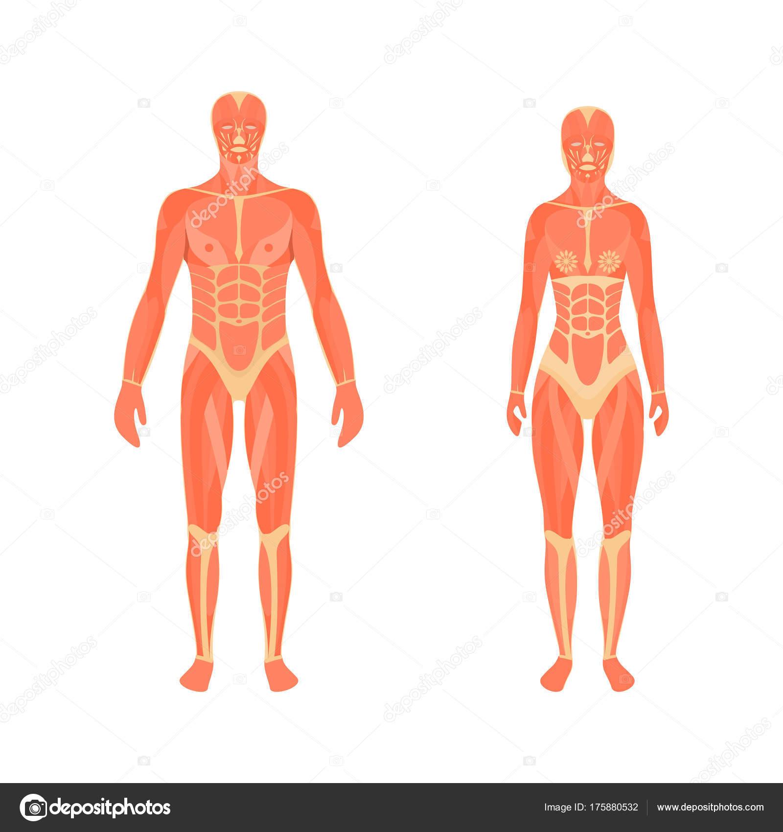 Darstellung der männlichen und weiblichen Muskulatur — Stockvektor ...