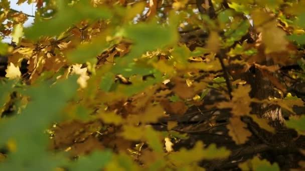 yellow oak leaves in autumn Park. slow motion