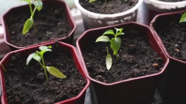 Žena zasadí semínka do květináčů k výsadbě. Jarní zahradní koncept.