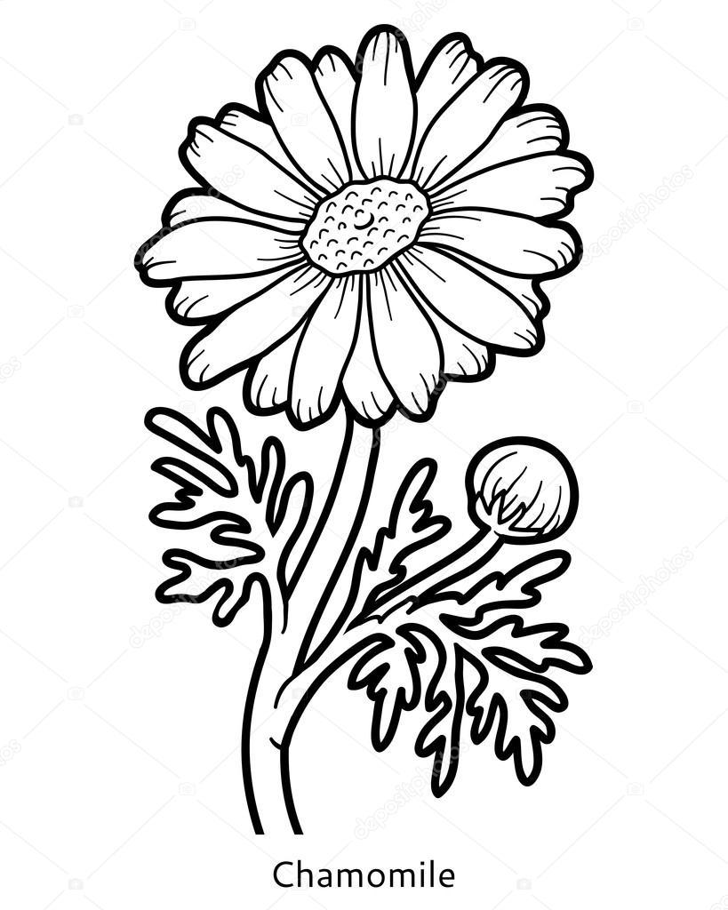 Libro para colorear, flor manzanilla — Vector de stock ...