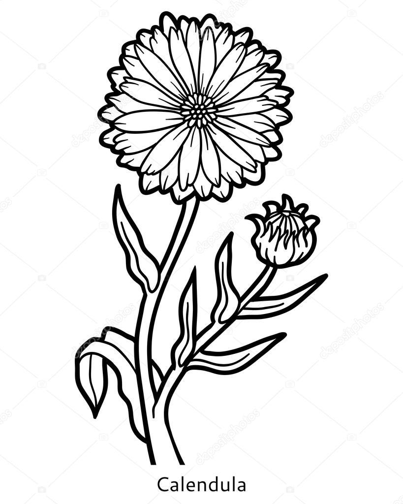 Libro para colorear, flor de caléndula — Archivo Imágenes ...