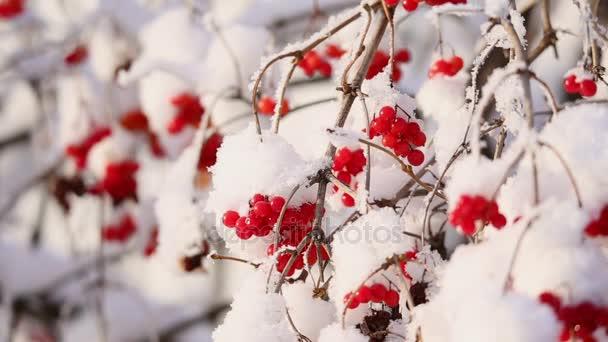 Kalina bobule na větvích v zimě