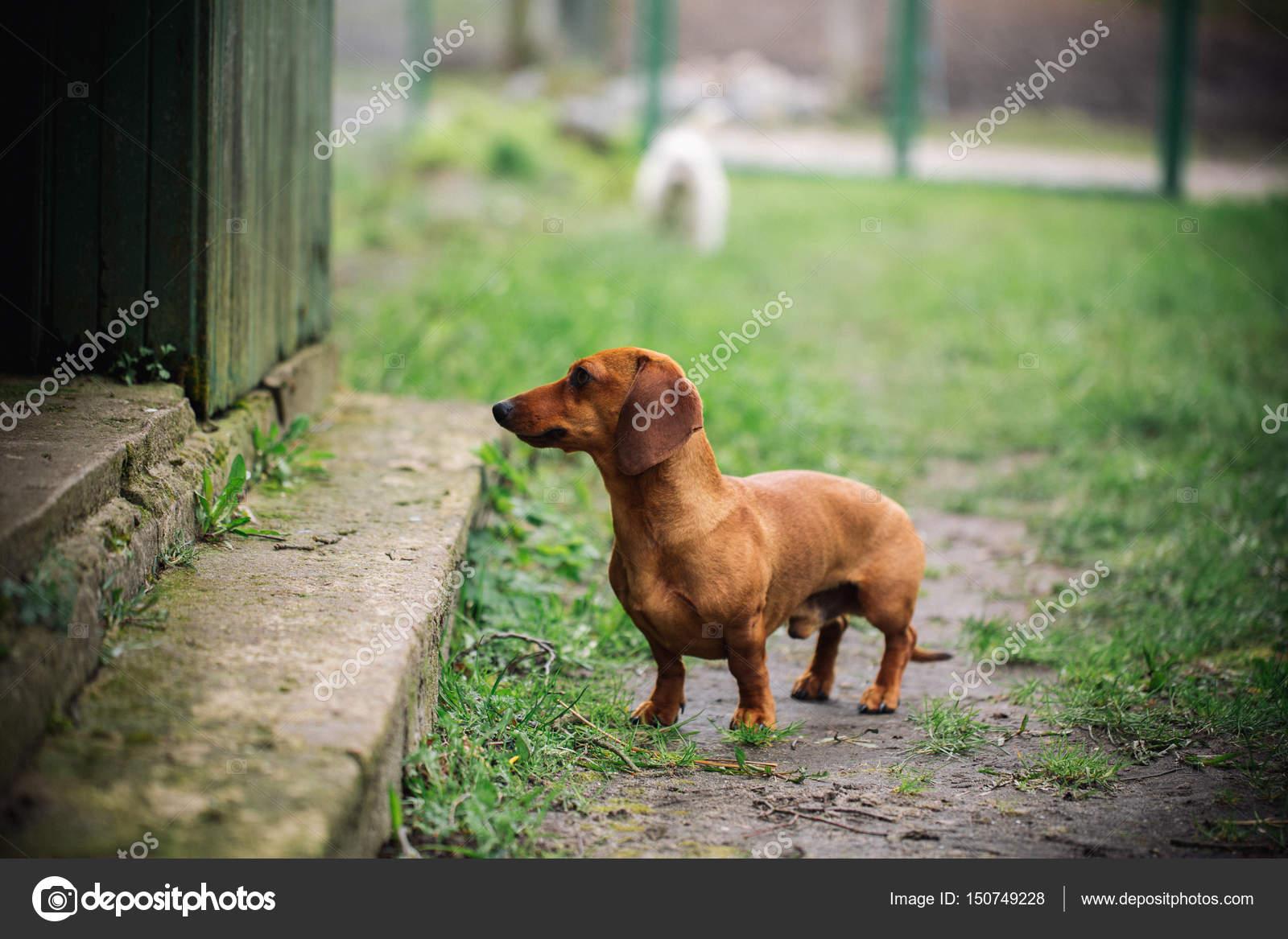 Dackel Hund Im Freien Wunderschöne Dackel Stand In Der Nähe Des