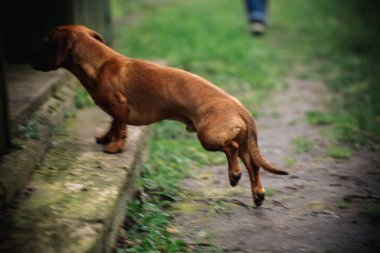 Move action photo. Dachshund dog in outdoor. Beautiful Dachshund