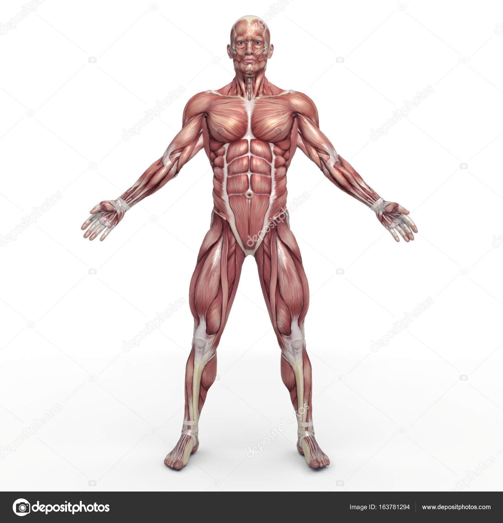 sistema muscular masculino — Foto de stock © orlaimagen #163781294