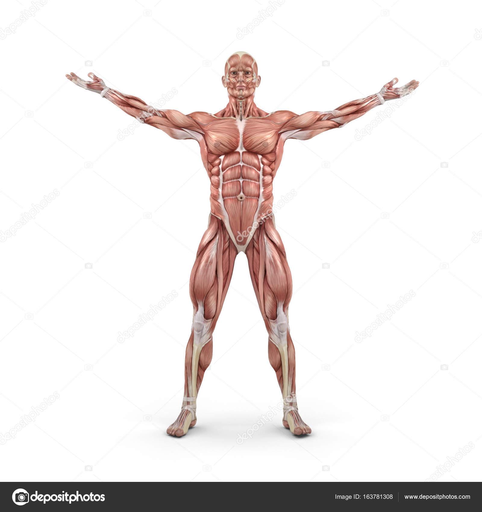 Vista frontal del sistema muscular — Fotos de Stock © orlaimagen ...