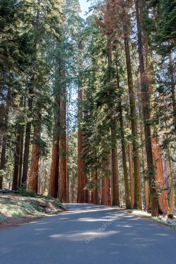 Giant Sequoias Tower Over Road