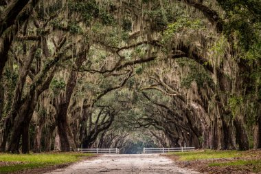 Dirt Road Through Live Oak Tree Tunnel