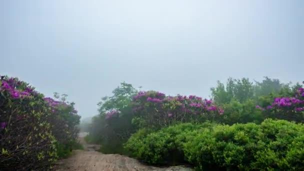 Časová prodleva stopy díky Jane plešatý Rhododendron v ranní mlze
