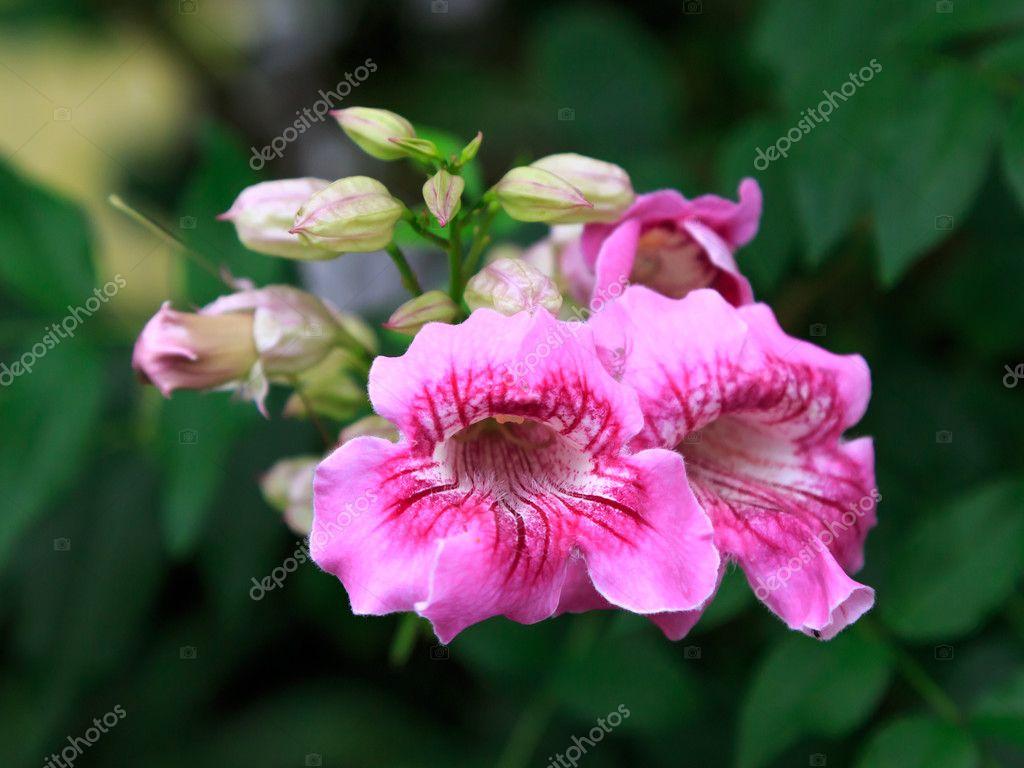 Pink trumpet vine flower stock photo wiangya 125638502 pink trumpet vine flower stock photo mightylinksfo