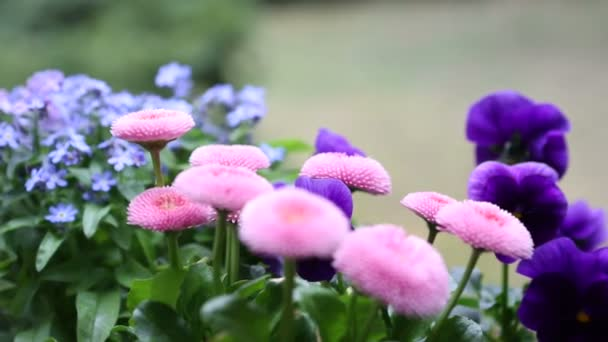 rotující růžové a lila květy v zahradě