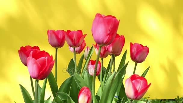 červené tulipány ve větru se žlutým pozadím