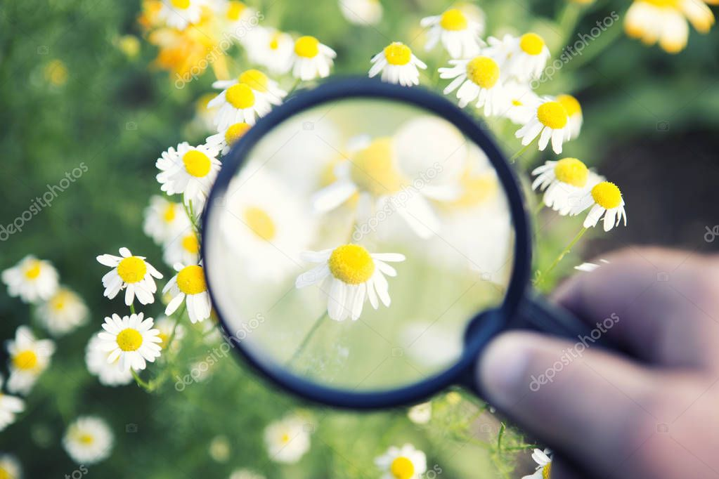hand holding magnifying glass to daisy at flower field