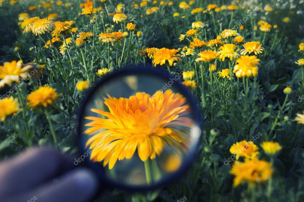hand holding magnifying glass on orange flower at flower field