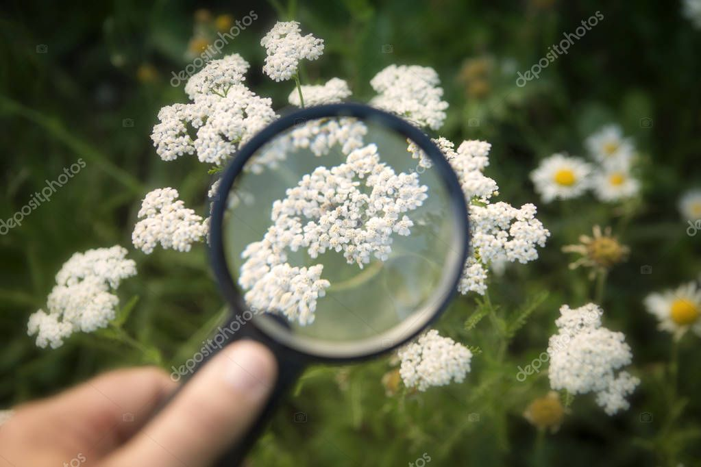 hand holding magnifying glass to white yarrow