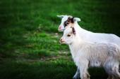 Fotografia due capre di bambino bianco su erba verde