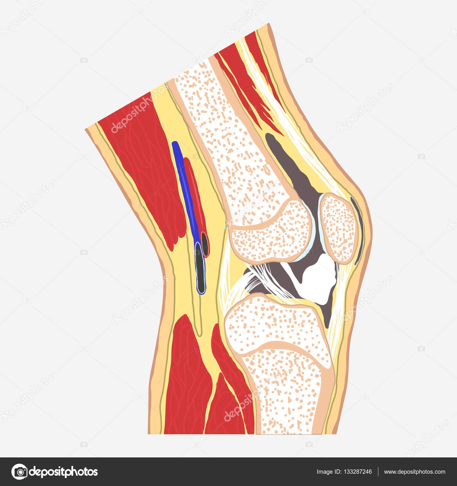 articulación de la rodilla humana — Archivo Imágenes Vectoriales ...