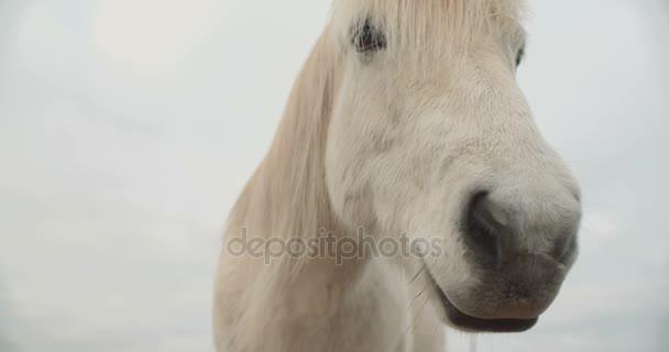 Pferde in den Bergen in Island. Islandpferde auf der Halbinsel Snfellsnes über dem isländischen Hochland.
