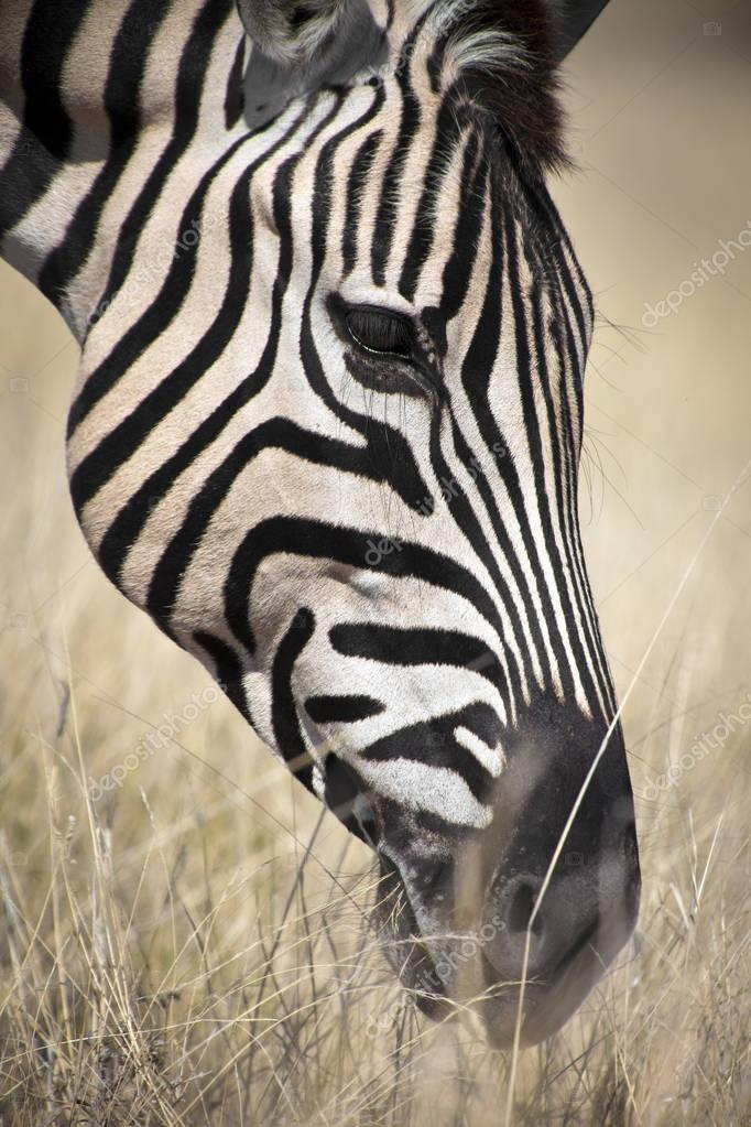 beautiful wild zebra
