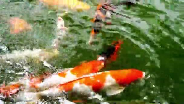 Koi ryb v rybníku, ozdobný kapr nebo Koi ryby jsou červená, oranžová