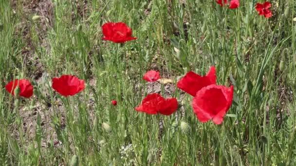 Pole s mákem květiny zavřít